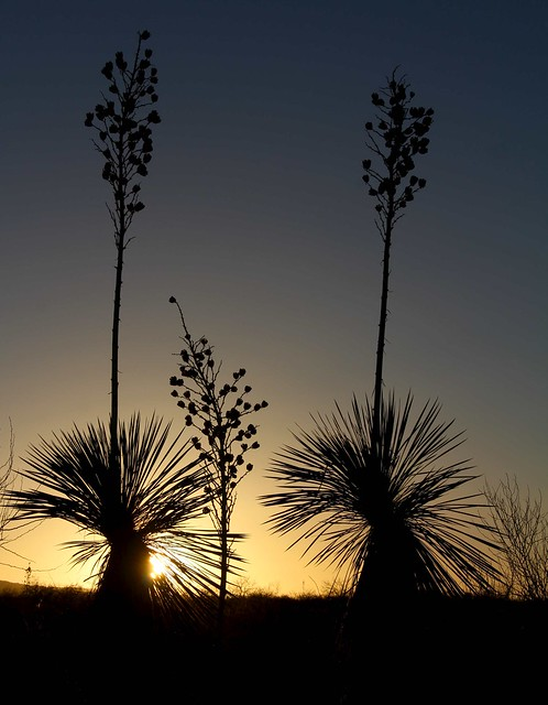 Soaptree Yucca (Yucca elata - Palmilla) at sunset; S of San Manuel, AZ