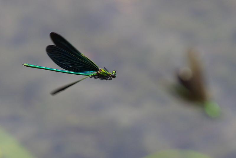 Calopteryx japonica
