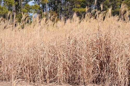 crop renewable miscanthus biomass ethanol biofuel biopower rhizomes cellulosic bioenergy energycrop giantmiscanthus freedomgiantmiscanthus
