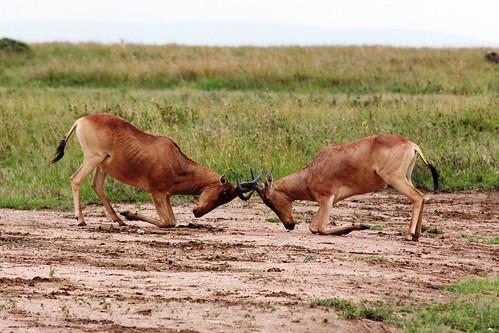 Fighting Hartebeest | by malczyk