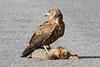 Harrier Hawk (Kahu) circus approximans by Paul Vandenberg