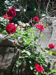 -Roses at Rock City, Kansas