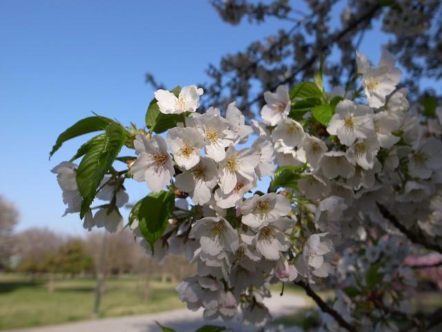 <p>d)何桜でしょうか?</p>