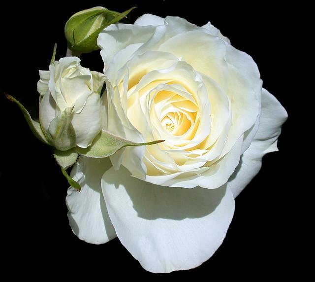 Floribunda Iceberg White Rose with Open Bud - C95-4-15-11_4704