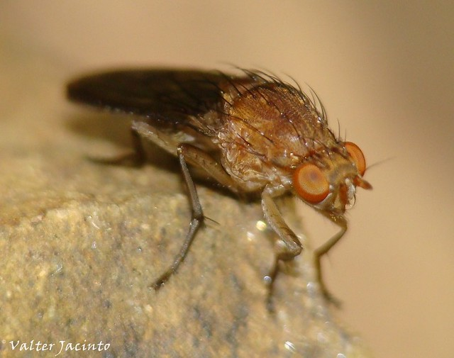 Mosca // Heleomyzid Fly (Suillia notata)