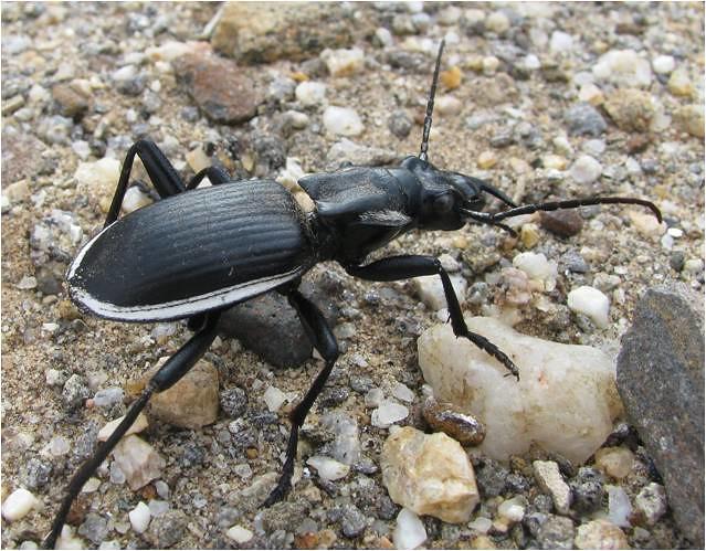 Oogpister beetle (Anthia circumscripta)