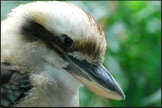 Laughing Kookaburra | by zenseas