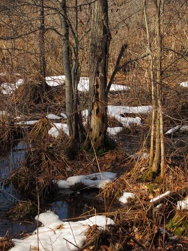trees snow ny newyork tree nature water spring upstate swamp bog fingerlakes preserve springtime dryden tompkinscounty inklingsandimprints odvonengelnnaturepreserve malloryvillerd malloryvilleroad malloryvillepreserve