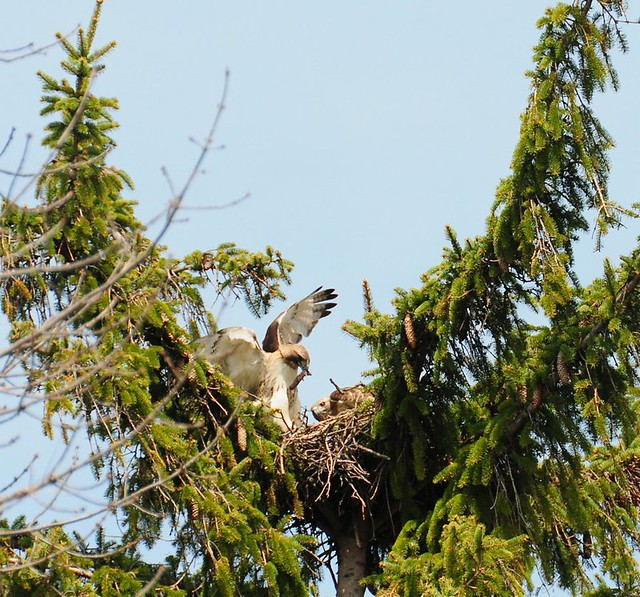 Lunchtime Red-tail style