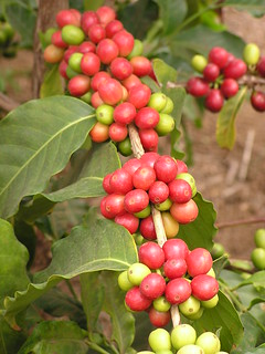 Coffee cherries | by Plant pests and diseases