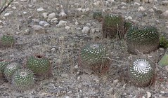 Cacti; entre San Rafael de las Tablas y San Juan Capistrano, Zacatecas, Mexico