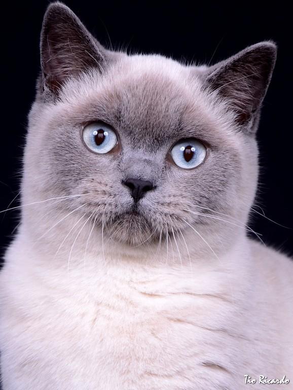 MODELO: Sirijjy Cattery - British Shorthair Color | TIO