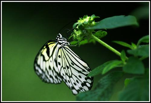 green nature canon butterfly eos natura 70200 zieleń motyl 40d