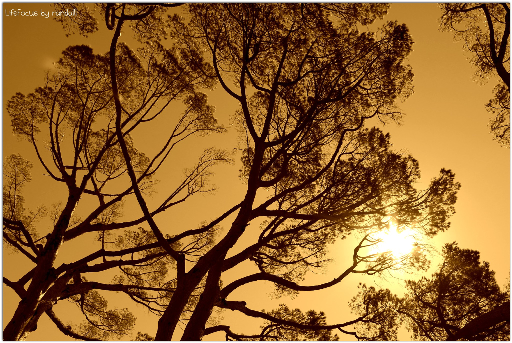 tree top silhouette in sepia