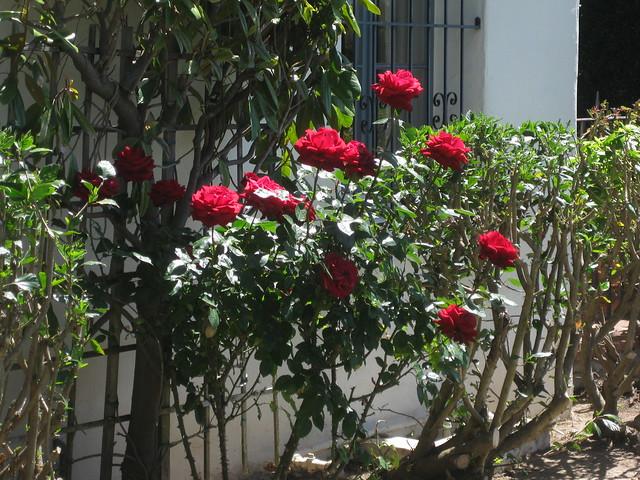 IMG_4375 110416 red rose bush plaza rubio house front garden