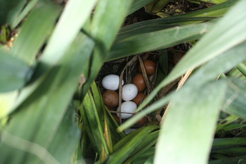 yucca eggs   by by hand at home
