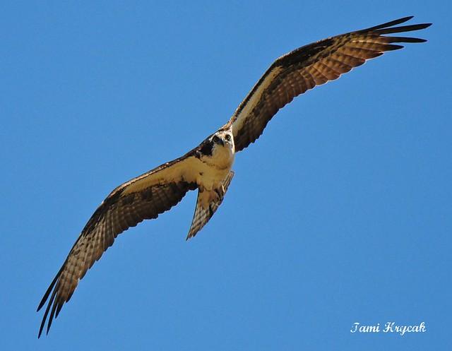 Osprey Spring 2011