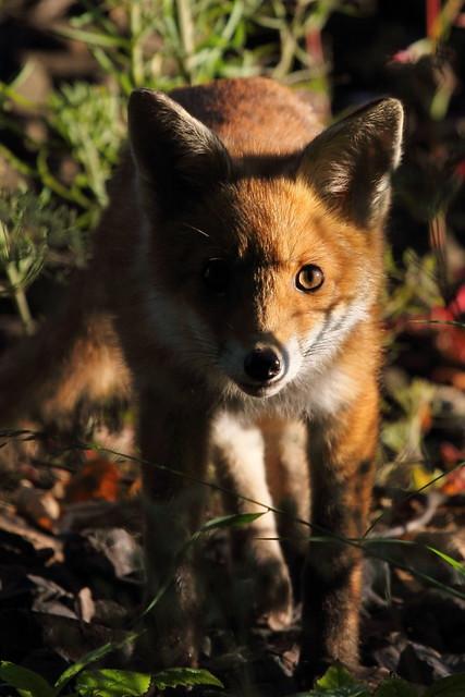 Fox cub8
