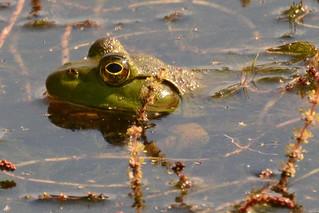 Frog at McCormick Farm