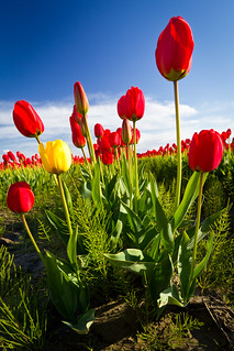 Tulip's eye view | by mfeingol