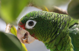 Puerto Rican parrot 4   by USFWS/Southeast