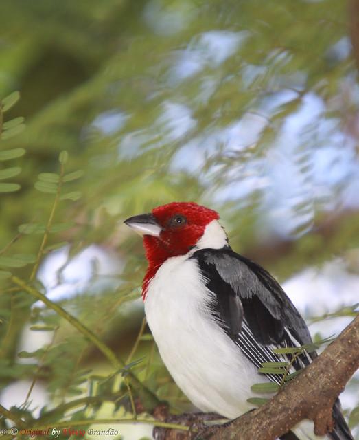 Série com o Cardeal-do-nordeste ou Galo-da-campina (Paroaria dominicana) - Series with the Red-cowled Cardinal - 23-04-2011 - IMG_1083