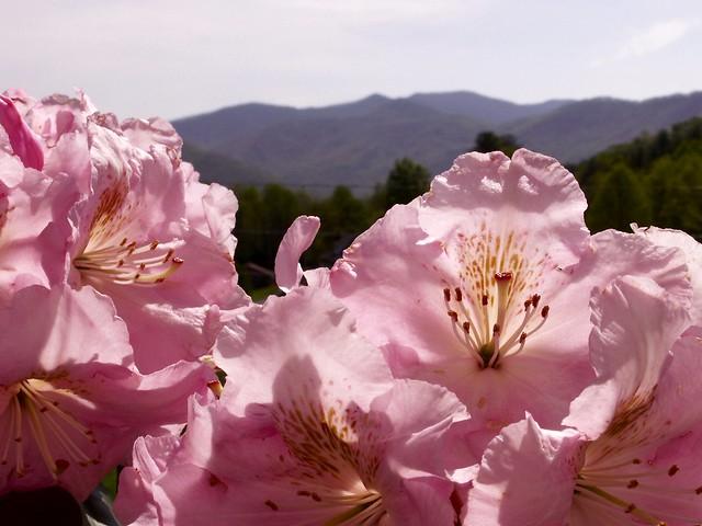 azaleas & mountains
