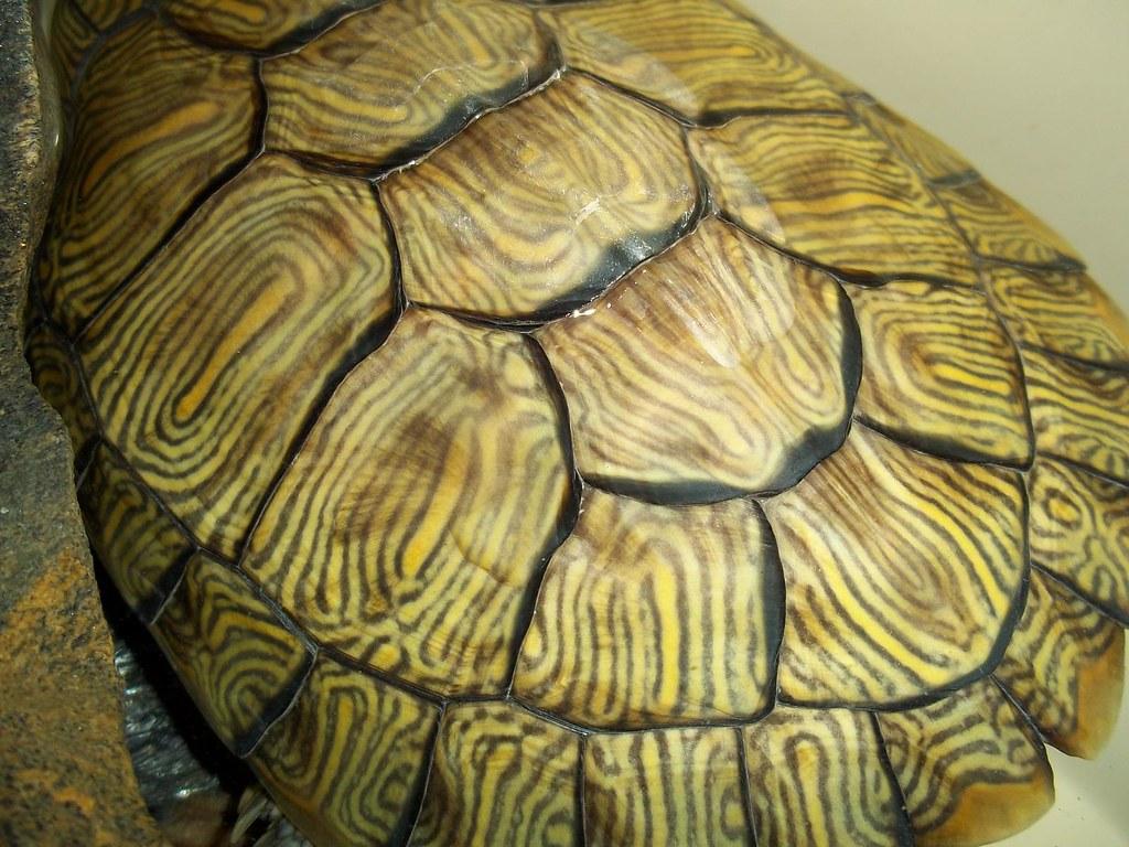 Turtle Shell Pattern Shahzad Hamed Flickr,Pet Tortoise Breeds