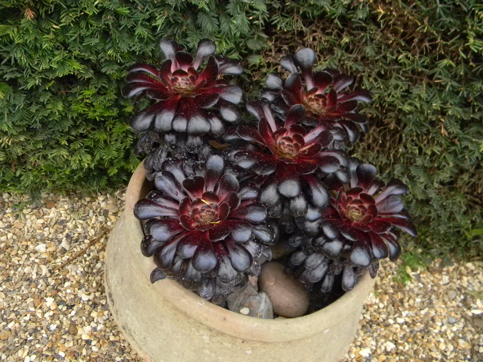 Red succulents Grey's Court, Shiplake to Henley