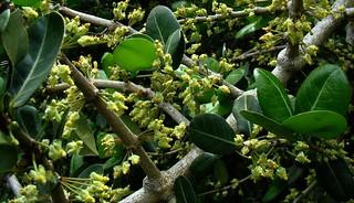 Imbe African Mangosteen 1 Flower Flickr