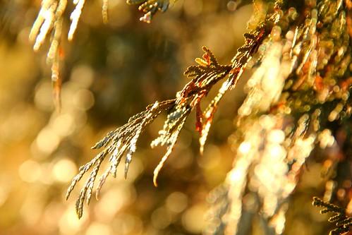 sunset green closeup bokeh cedar hedge 1001nights picnik goldenhour cedarhedge img1507 protophotogsl 1001nightsmagiccity magiccity~9awardthread