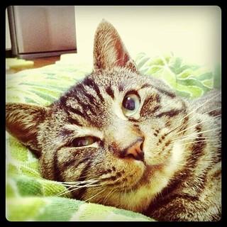 ムサシさんの腹時計が夕方のおやつタイムをお知らせします。mck!! #cat