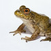 Flickr photo 'Lithobates catesbeianus - Bullfrog' by: brian.gratwicke.