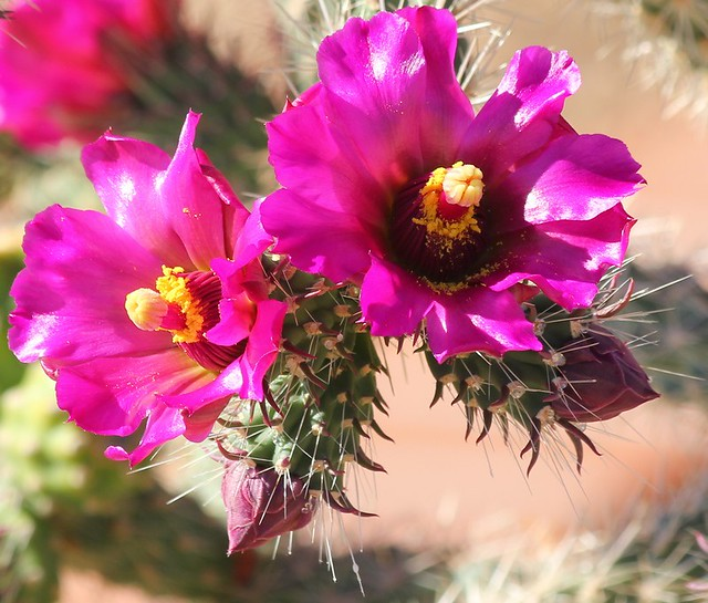 Blossoms of one of the several varieties of native wild cholla cactus (Cylindropuntia spinosior)