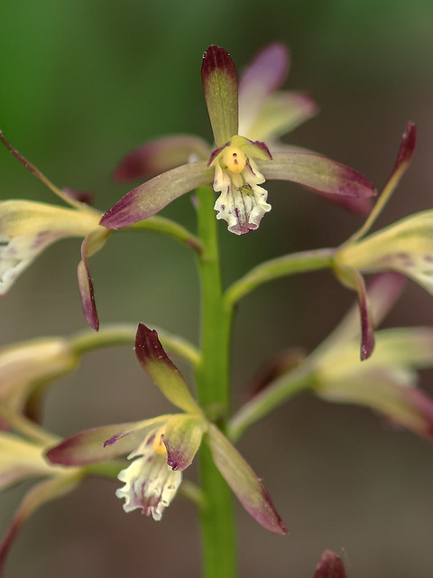 Puttyroot orchid