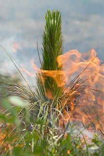 Longleaf pine on fire | by USFWS Headquarters
