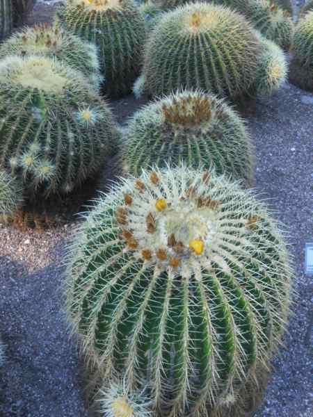 Echinocactus grusonii 'Grusonii' v 1