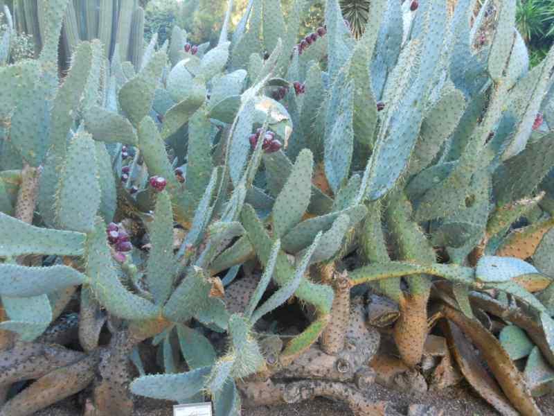 Opuntia engelmannii 'Linguiformis' 2