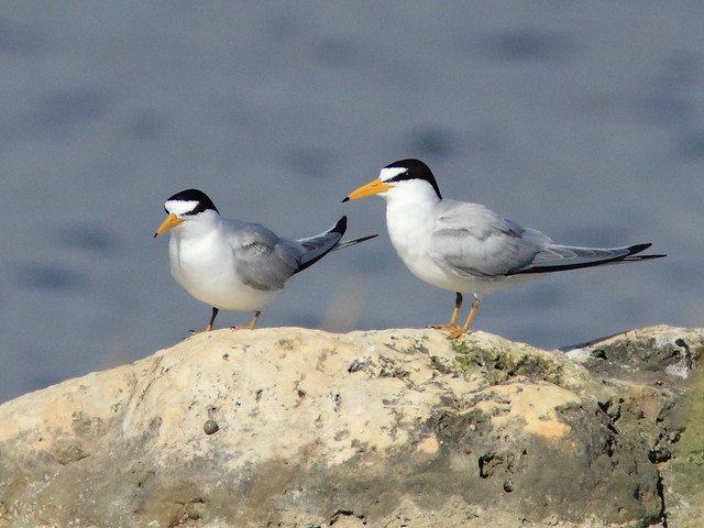 Least Terns 2-20120418