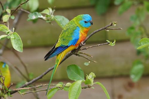 Turquoise parrot | by tim ellis