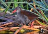 African Rail (Rallus caerulescens) by Ian N. White