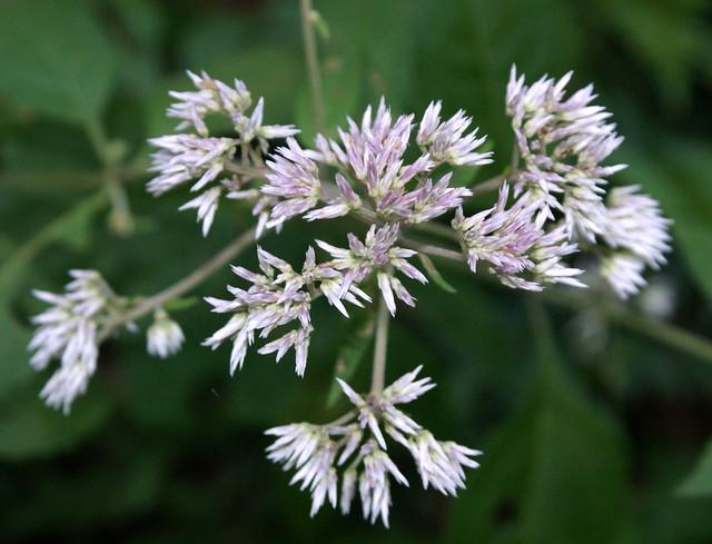 Joe-Pye Weed (Eupatorium sp.)