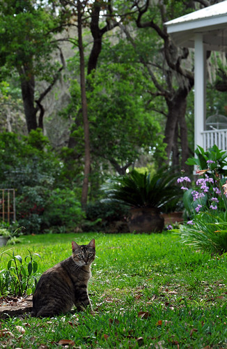 house cat garden landscape spring florida country lawn mamakitty bananalake