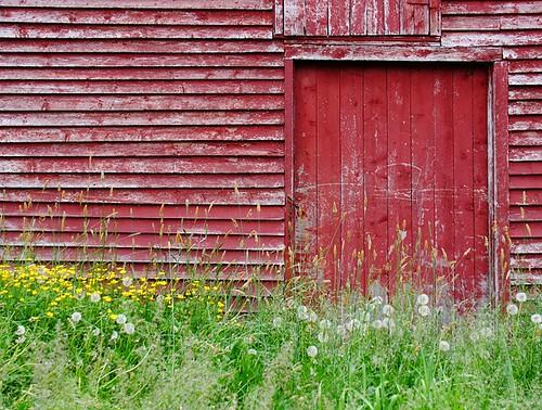 door wood old red green yellow barn wooden weeds paint painted dandelions buttercups randomisland