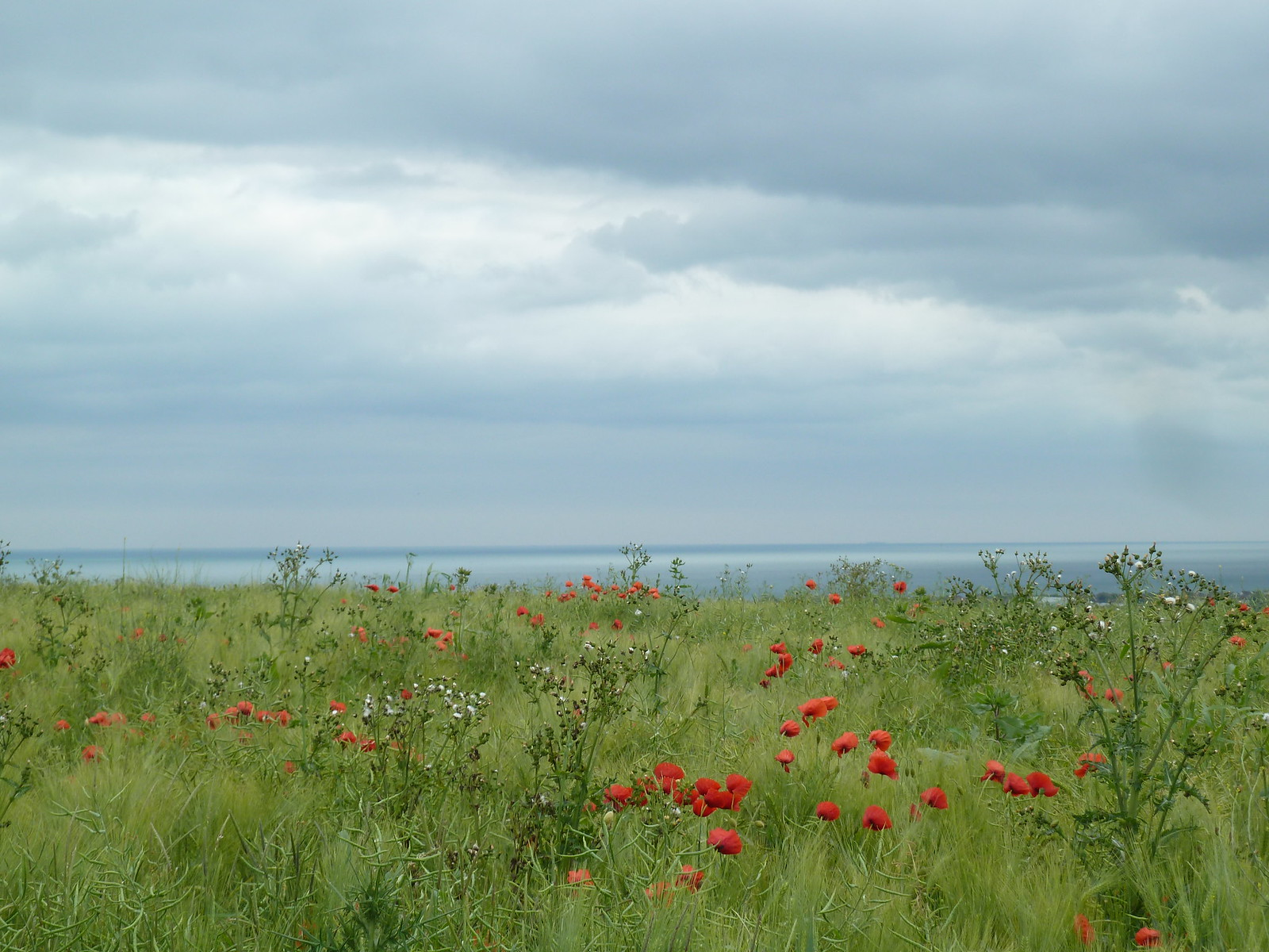 Red Poppies, Blue Sea Amberley to Shoreham, June.