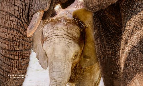 elephant tampa zoo florida africanelephant lowryparkzoo tampazoo lowrypark elephantcalf elephantbaby elephantafrican tampalowryparkzoo calfelephant