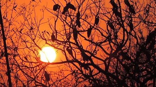 trees sunset india nature birds view majestic tripura agartala narsingarh asianopenbillstorks nikoncoolpixp520 tripuraindia