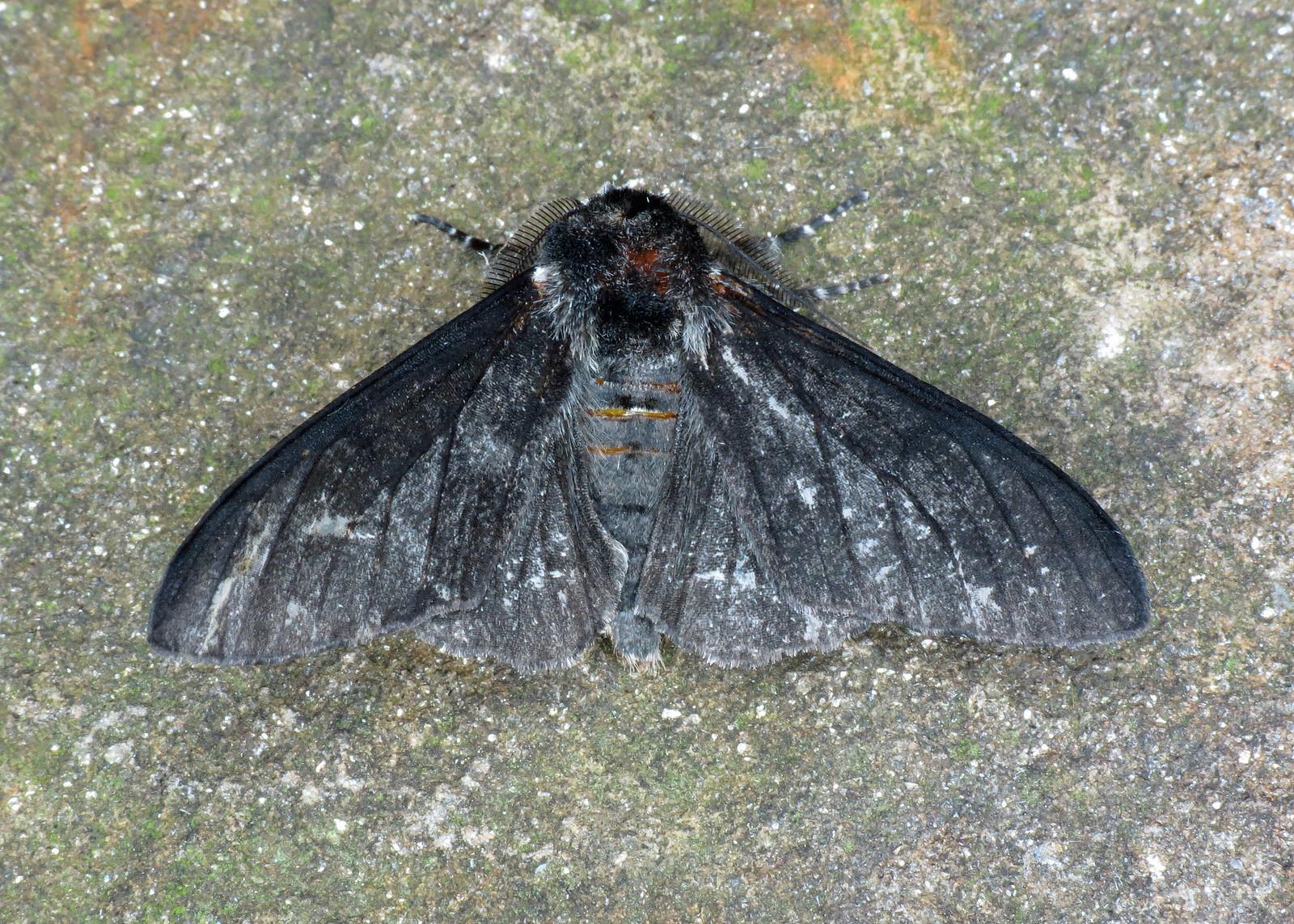 1931 Peppered Moth - Biston betularia (ab. carbonaria)