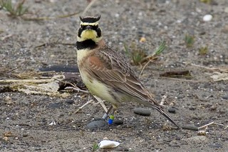 Streaked Horned Lark | by USFWS Pacific
