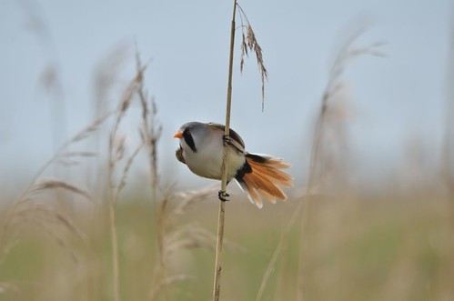 Bearded tit | by markhows